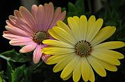 Nature Closeup Metal Prints - Gerber Daisies Metal Print by Jerry McElroy