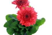 Floral Photographs Photos - Gerber Daisy by Michael Ledray