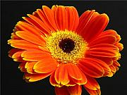 Close Up Floral Prints - Gerber Daisy Portrait Print by Juergen Roth