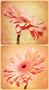 Gerber Daisys - Gerber Daisys Two by Cathie Tyler