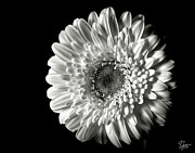 Flower Photos Posters - Gerber in Black and White Poster by Endre Balogh