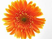 Flower Macro Prints - Gerber Print by Juergen Roth