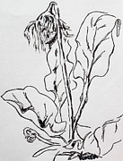 Pen And Ink Drawing Drawings - Gerber Study I by Vonda Lawson-Rosa