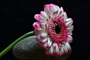 Gerbera Originals - Gerbera At Rest by Terence Davis