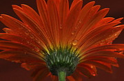 Flowers Gerbera Posters - Gerbera close up Poster by Deborah Bifulco
