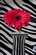 Gerbera Daisy Metal Prints - Gerbera daisy in striped vase Metal Print by Garry Gay