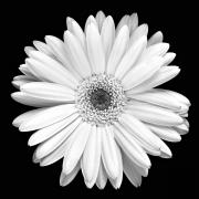 White Floral Prints - Gerbera Daisy Print by Marilyn Hunt