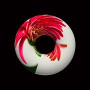 Steve Purnell - Gerbera Donut