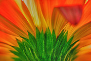 Dew Drop Prints - Gerbera explosion Print by Stylianos Kleanthous