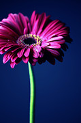 Blume Prints - Gerbera Print by Falko Follert