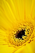 Flower Blooming Photos - Gerbera flower by Elena Elisseeva