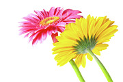 Water Drop Photos - Gerbera Flowers by Carlos Caetano