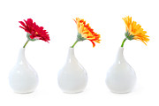 Interior Design Photo Prints - Gerbera flowers in vases Print by Elena Elisseeva