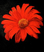 Gerbera Print by Heather Matthews