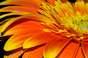 Fragrant Pyrography Prints - Gerbera Print by Imagevixen Photography