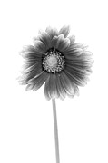 Gerbera Photos - Gerbera in Black and White by Sebastian Musial