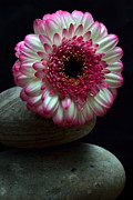 Gerbera Originals - Gerbera On The Rocks by Terence Davis
