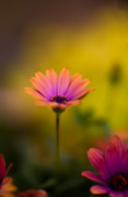 Gerbera Metal Prints - Gerbera Radiance Metal Print by Mike Reid