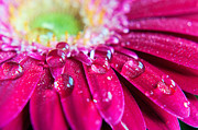 Extreme Close Up Posters - Gerbera Rain Droplets Poster by Michelle McMahon