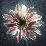 Dew Prints - Gerbera Print by Stylianos Kleanthous