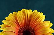 Featured Photos - Gerbera Sunrise by Michael Park
