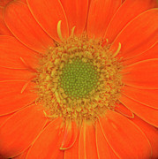 High Resolution Prints Prints - Gerbera Two Print by Christopher Gruver