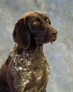 Concentration Prints - German Pointer Portrait Of A Dog Print by The Irish Image Collection