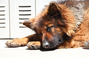 German Shepard Dog Prints - German Shepard Sleeping Print by Gualtiero Boffi