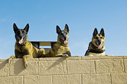Ledge Photo Posters - German Shephard Military Working Dogs Poster by Stocktrek Images