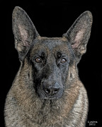 Akc Digital Art - German Shepherd Dog 3 by Larry Linton
