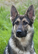 Elaine Hillson - German Shepherd Dog