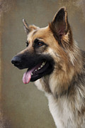 Panting Dog Posters - German Shepherd Dog Poster by Ethiriel  Photography