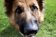 German Photos - German Shepherd dog by Fabrizio Troiani