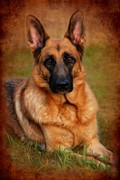 Pet Portraits Digital Art Posters - German Shepherd Dog Portrait  Poster by Angie McKenzie