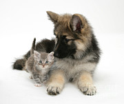 House Pet Prints - German Shepherd Dog Pup With A Tabby Print by Mark Taylor