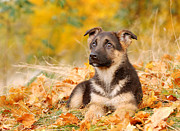 Veterinary Prints - German shepherd dog puppy Print by Waldek Dabrowski