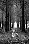 Camera Posters - German Shepherd Dog Sitting Down In Woods Poster by Adam Hirons Photography