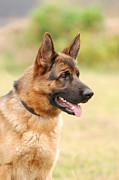 German Shephard Prints - German shepherd dog Print by Waldek Dabrowski