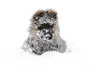Snow Dog Posters - German Shepherd In The Snow Poster by Gualtiero Boffi