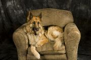 Sitting In Chair Posters - German Shepherd On Leather Chair Poster by David Edwards