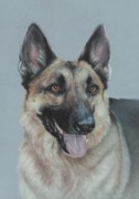 Shepherds Pastels Framed Prints - German Shepherd Framed Print by Pamela Humbargar