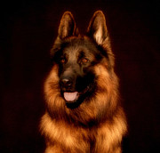 Alsatian Posters - German Shepherd Portrait Poster by Sandy Keeton