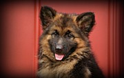 Indiana Acrylic Prints - German Shepherd Puppy - Queena Acrylic Print by Sandy Keeton