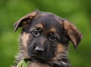 Shepherds Posters - German Shepherd Puppy Close-Up Poster by Sandy Keeton