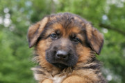 Shepherds Photo Posters - German Shepherd Puppy II Poster by Sandy Keeton