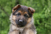 Puppies Metal Prints - German Shepherd Puppy III Metal Print by Sandy Keeton