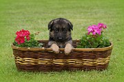 Shepherds Posters - German Shepherd Puppy in Basket Poster by Sandy Keeton
