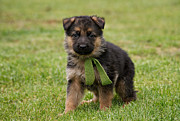 Shepherds Posters - German Shepherd Puppy in Grass Poster by Sandy Keeton