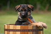 Alsatian Posters - German Shepherd Puppy in Planter Poster by Sandy Keeton