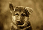 Puppies Metal Prints - German Shepherd Puppy in Sepia Metal Print by Sandy Keeton